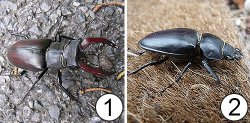 Диморфизм - Половой диморфизм у жука-оленя