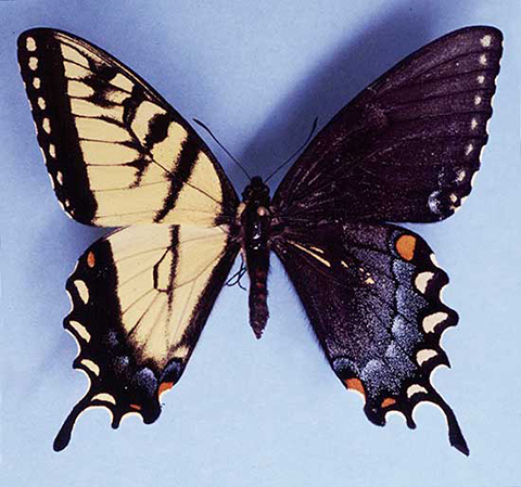 Диморфизм - Гинандроморфизм