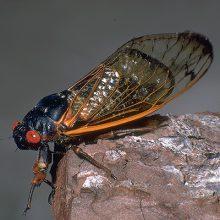 Генерация - Периодическая цикада