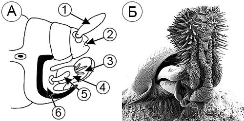 Копулятивный орган насекомых - Копулятивный аппарат насекомых