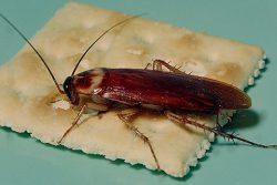Синантропный организм - Американский таракан