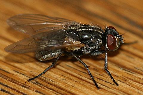 Синантропный организм - Домовая муха