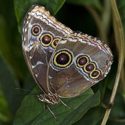 Лимитирующий фактор - Бабочка Morpho helenor peleides