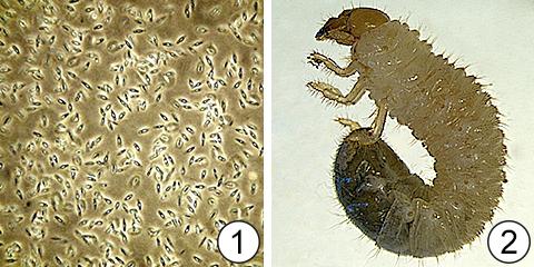 Лимитирующий фактор - Лимитирующий фактор для японского жука