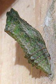 Лимитирующий фактор - Куколка бабочки махаона