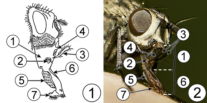 Лижущий (мускоидный) тип ротового аппарата насекомых - Лижущий ротовой аппарат