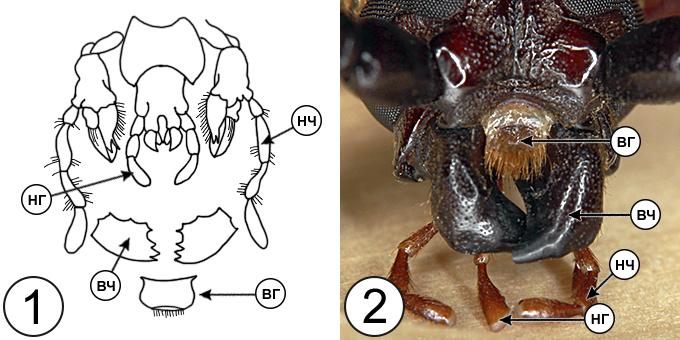 Типы ротовых аппаратов насекомых - Грызущий ротовой аппарат