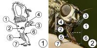 Типы ротовых аппаратов насекомых - Лижущий ротовой аппарат