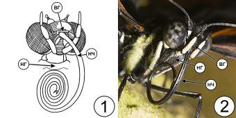 Сосущий тип ротового аппарата насекомых - Сосущий ротовой аппарат
