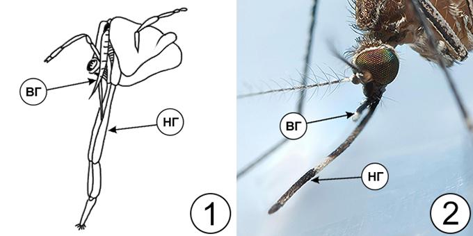 Колюще-сосущий тип ротового аппарата насекомых - Колюще-сосущий ротовой аппарат