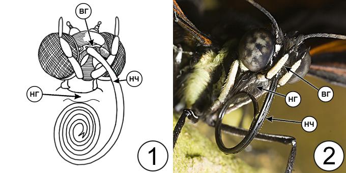 Типы ротовых аппаратов насекомых - Сосущий ротовой аппарат