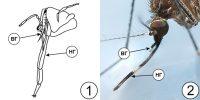 Типы ротовых аппаратов насекомых - Колюще-сосущий ротовой аппарат