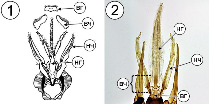 Типы ротовых аппаратов насекомых - Грызуще-лижущий ротовой аппарат