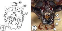 Грызущий тип ротового аппарата насекомых - Грызущий ротовой аппарат