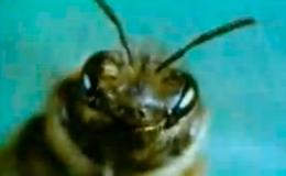 Поведение общественных насекомых - Танцы пчел