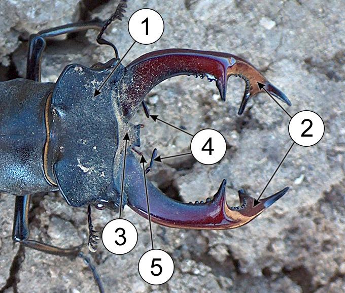 Ротовые органы насекомых - Верхние челюсти жука-оленя