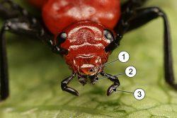 Ротовые органы насекомых - Ротовые органы у жука-кардинала