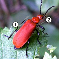 Эпиплевра - Эпиплевры у жука-кардинала