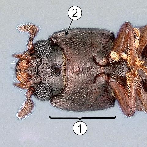 Гипомеры - Гипомеры у жука-чернотелки