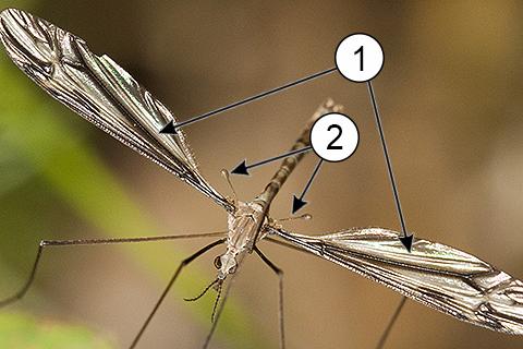 Жужжальца - Жужжальца у комара-долгоножки