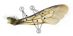 Жилкование крыльев - Структура поверхности крыла (на примере шмеля)
