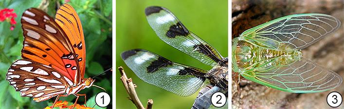 Жилкование крыльев - Типы жилкования