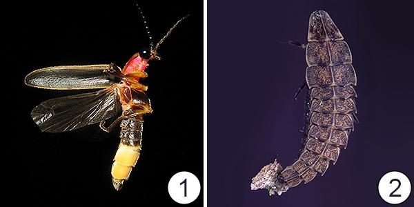 Крылья насекомых - Разное количество крыльев</p>у насекомых 1 вида
