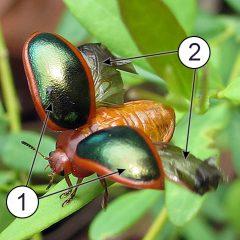 Крылья насекомых - Разница в строении крыльев у жука