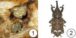 Маточный ход - Яйца долгоносика в маточном ходе