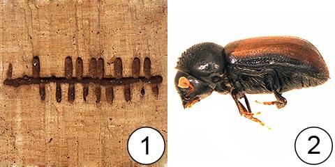 Маточный ход - Маточные ходы жука-короеда