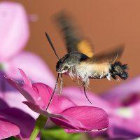 Полет насекомых - Бражник