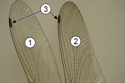 Птеростигма - Птеростигма на крыле стрекозы