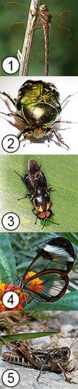 Складывание крыльев у насекомых - Складывание крыльев