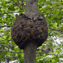 Галлы - Корончатый галл на стволе дерева