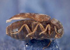 Внешний карантин растений - Капровый жук