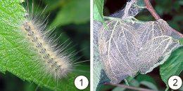 Перечень карантинных объектов - Гусеница американской белой бабочки