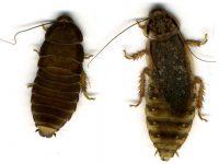 Таракановые (Тараканы) - Половой диморфизм