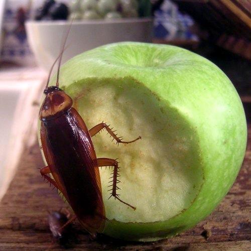 Таракановые (Тараканы) - Повреждение продуктов тараканами