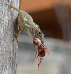 Таракановые (Тараканы) - Враги тараканов