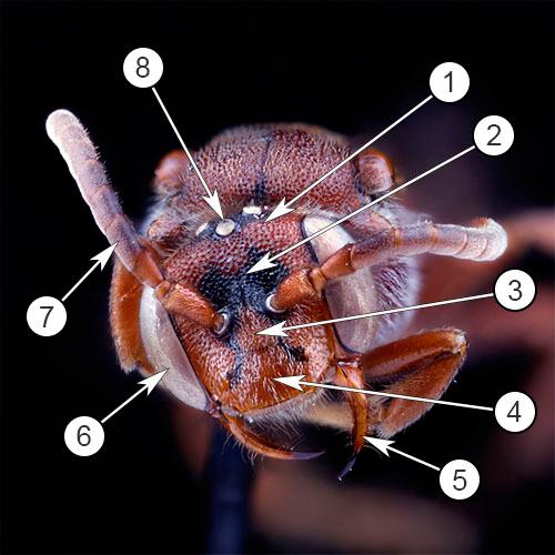Внешнее строение насекомых - Строение головы