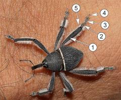 Внешнее строение насекомых - Ноги долгоносика-паука, покрытые волосками