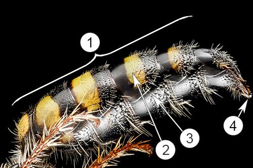 Внешнее строение насекомых - Строение брюшка у осы Myzinum maculatum