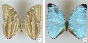 Внешнее строение насекомых - Физический тип окраски крыльев бабочек Morpho Eugenia
