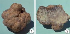 Карантинный объект - Картофельная головня