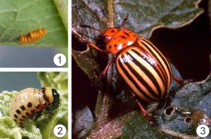 Карантинный объект - Колорадский жук, бывший карантинный вид.