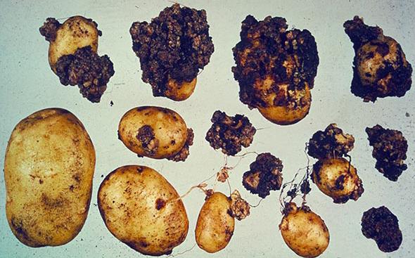 Перечень карантинных объектов - Рак картофеля