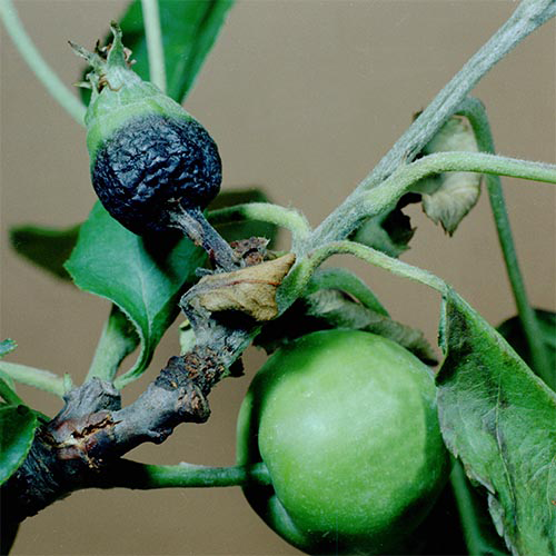 Перечень карантинных объектов - Ожог плодовых деревьев
