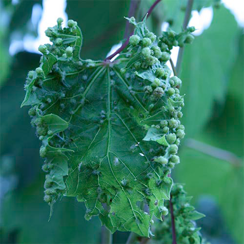 Карантин растений - Филлоксера