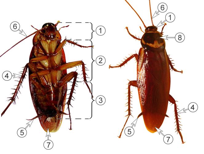 Таракановые (Тараканы) - Морфология имаго американского таракана