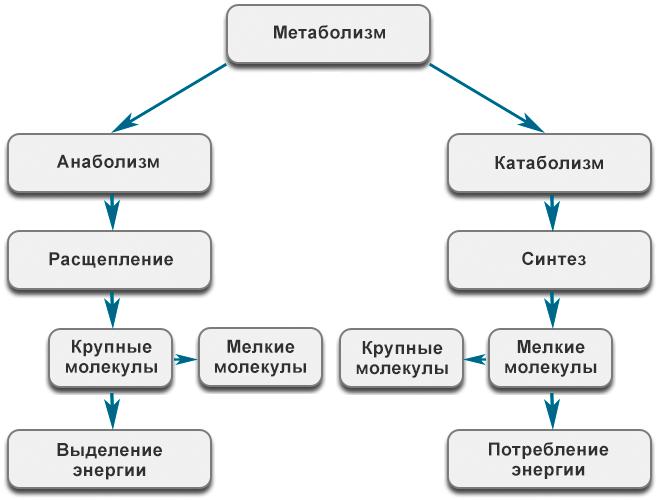 Метаболизм - Cхема метаболических процессов